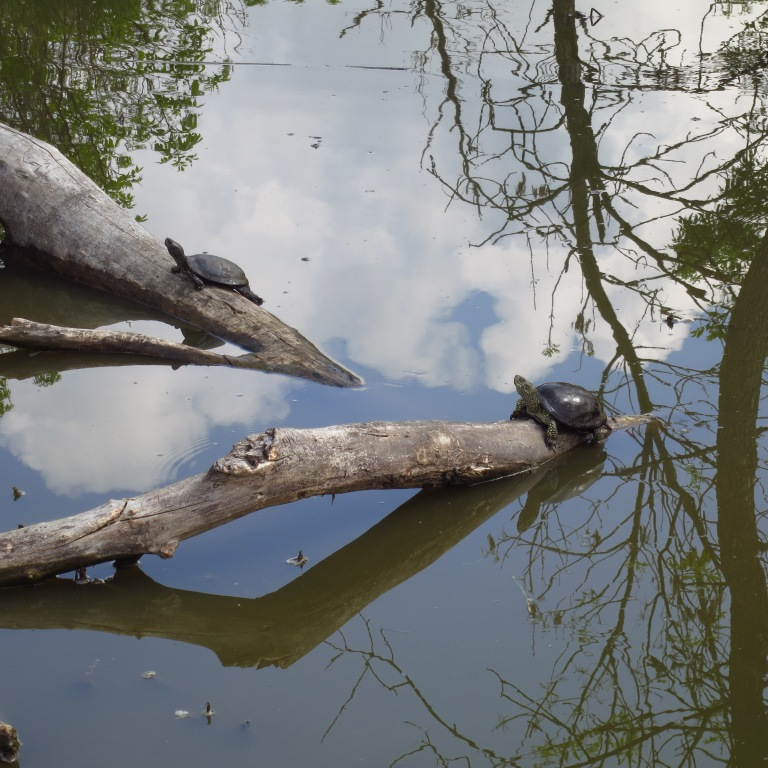 Two laid back hungarian turtles