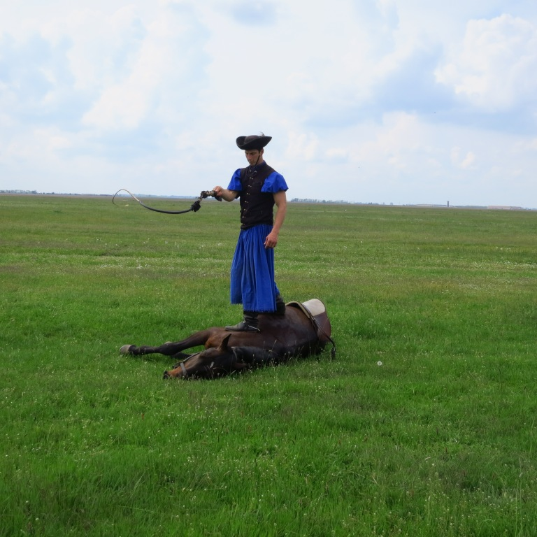 The csiko (hungarian cowboy) shows how the horses are trained to play death, even when the csiko cracks with his bullwhip over their heads.