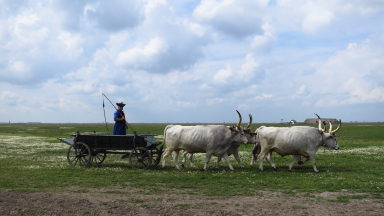 A carriage pulled by the hungarian grey cattle