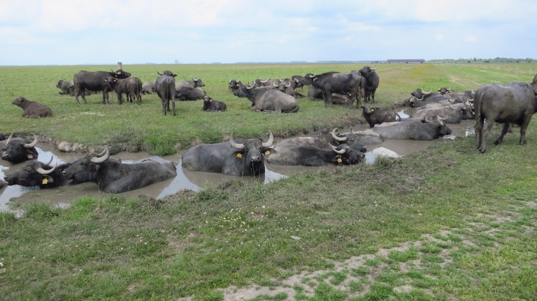 Dirty Buffalos are having a bath, but I don't think that helps much